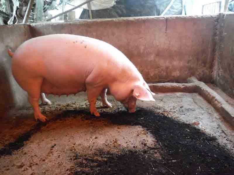 Pig eating biochar